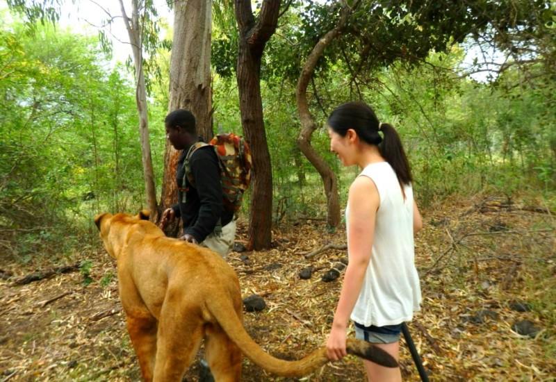 【モーリシャス】ライオンとお散歩しよう!